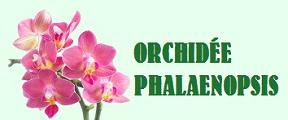 Comment viter la mort de son orchid e phalaenopsis et - Comment couper la tige d une orchidee apres floraison ...