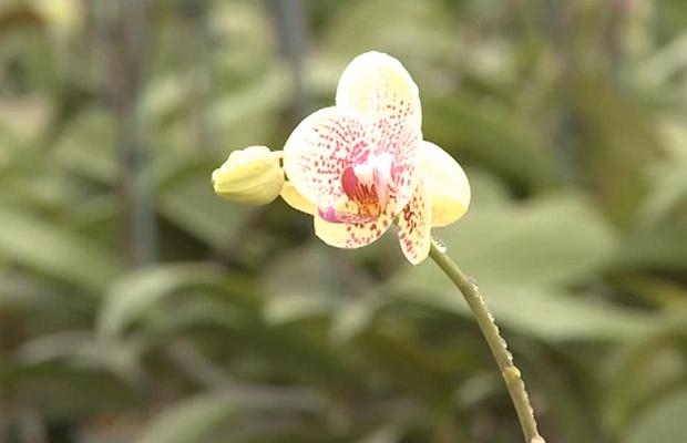 Orchidées phalaenopsis avec des points colorés